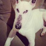 Cão é tatuado em Poços de Caldas com a justificativa que é tratamento para câncer de pele